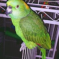 Adopt A Pet :: Buttercup - Tampa, FL