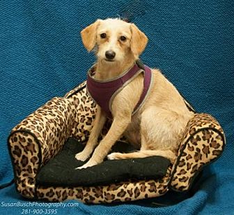 Dachshund/Miniature Poodle Mix Dog for adoption in Santa Fe, Texas - Lucy