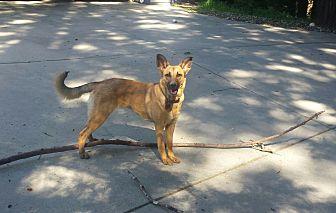 German Shepherd Dog/Australian Shepherd Mix Dog for adoption in Los Gatos, California - Willow