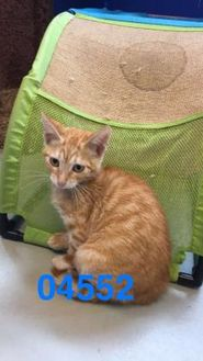 Domestic Shorthair/Domestic Shorthair Mix Cat for adoption in Kiln, Mississippi - JERIMIAH