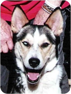Siberian Husky Dog for adoption in Carbondale, Colorado - Romeo