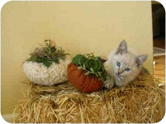 Siamese Kitten for adoption in Davis, California - Wa Lee