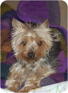 Yorkie, Yorkshire Terrier Dog for adoption in Charlotte, North Carolina - Dixie