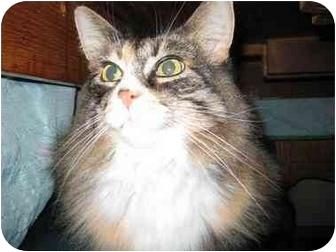 Domestic Longhair Cat for adoption in Cambridge, Ontario - Carey