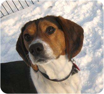 Beagle Dog for adoption in Ile-Perrot, Quebec - LOKI