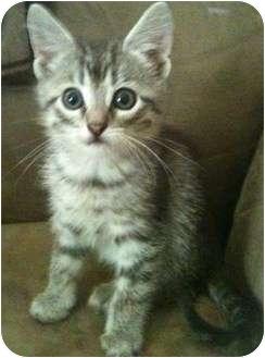 Domestic Shorthair Kitten for adoption in Newburgh, Indiana - Gizmo