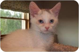 Domestic Shorthair Kitten for adoption in Acme, Pennsylvania - Gianna