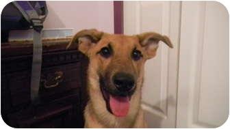 Labrador Retriever/German Shepherd Dog Mix Puppy for adoption in Jacksonville, Florida - Simone