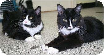 Domestic Shorthair Cat for adoption in Edmonton, Alberta - Stanley & Princeton
