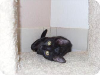 Domestic Shorthair Kitten for adoption in Flower Mound, Texas - Scamper
