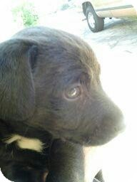 Labrador Retriever Mix Puppy for adoption in Burbank, California - LIL' OREO