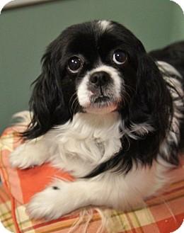 Cavalier King Charles Spaniel/Shih Tzu Mix Dog for adoption in Medford, Massachusetts - Sasha