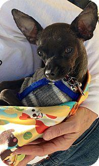 Chihuahua Mix Dog for adoption in San Diego, California - Moki