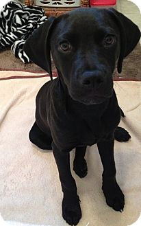 Labrador Retriever Mix Puppy for adoption in Baltimore, Maryland - Raven
