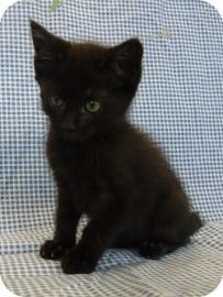 Domestic Longhair Kitten for adoption in Larned, Kansas - Dev