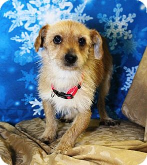 Cairn Terrier Mix Dog for adoption in Westminster, Colorado - Eric B