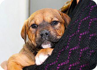 Mastiff/Shepherd (Unknown Type) Mix Puppy for adoption in Los Angeles, California - Glenda