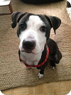Pit Bull Terrier Mix Dog for adoption in Hazlet, New Jersey - Claire
