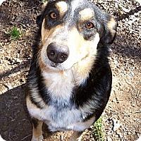 Adopt A Pet :: Abbie - Conway, AR