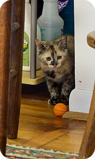 Domestic Shorthair Kitten for adoption in Knoxville, Tennessee - Topaz