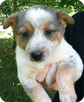 Blue Heeler/Australian Shepherd Mix Puppy for adoption in Snohomish, Washington - Doc, adorable heeler babe