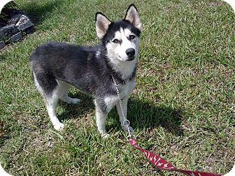 Siberian Husky Dog for adoption in Clearwater, Florida - Sabrina