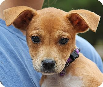 Border Collie Mix Puppy for adoption in Stamford, Connecticut - Petunia