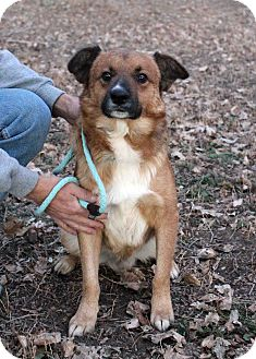 Shepherd (Unknown Type) Mix Dog for adoption in Westminster, Colorado - Liam