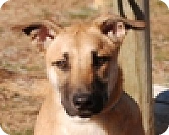 Labrador Retriever/Shepherd (Unknown Type) Mix Puppy for adoption in Portola, California - Patrick