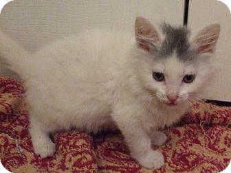 Maine Coon Kitten for adoption in Lenexa, Kansas - Teddy