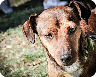 Dachshund/Jack Russell Terrier Mix Dog for adoption in Gainesville, Florida - Mr. Brown