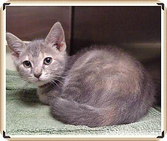 Domestic Shorthair Kitten for adoption in Marietta, Georgia - WILDCAT