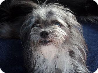 Shih Tzu/Yorkie, Yorkshire Terrier Mix Dog for adoption in Spring Valley, New York - Josie