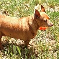 Miniature Pinscher Mix Dog for adoption in Auburn, California - BEBE