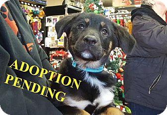 German Shepherd Dog Mix Puppy for adoption in Winnipeg, Manitoba - MIMIC