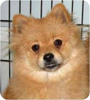 Pomeranian Mix Dog for adoption in Rolling Hills Estates, California - Milo