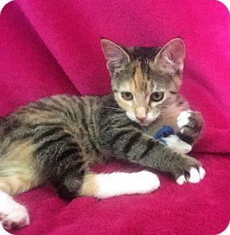 Calico Kitten for adoption in Nolensville, Tennessee - Princess Leia