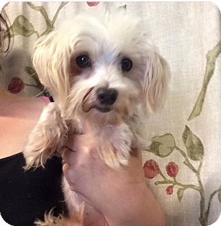 Maltese Mix Dog for adoption in Kansas city, Missouri - Max
