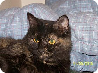 Domestic Mediumhair Cat for adoption in Tucson, Arizona - Mama