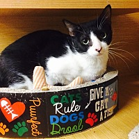 Domestic Shorthair Cat for adoption in Los Angeles, California - Ronnie