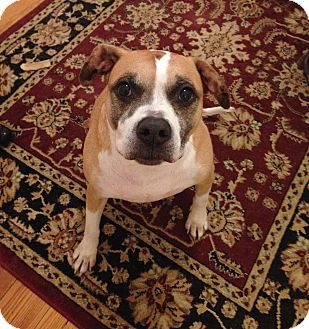 Boxer/Pit Bull Terrier Mix Dog for adoption in Richmond, Virginia - Shadow