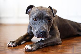 American Staffordshire Terrier Mix Dog for adoption in Los Angeles, California - Tyrion Lannister