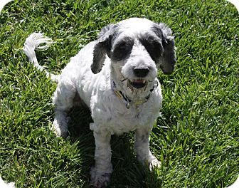 Poodle (Miniature) Mix Dog for adoption in Henderson, Nevada - Harper