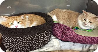 Domestic Longhair Cat for adoption in Hibbing, Minnesota - Tom & Jerry