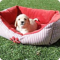 Pug/Terrier (Unknown Type, Small) Mix Puppy for adoption in Chandler, Arizona - Pumpkin Pie