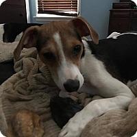 Adopt A Pet :: Lexie - ST LOUIS, MO