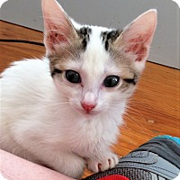 Domestic Shorthair Kitten for adoption in Knoxville, Tennessee - Saturnus