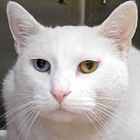 Domestic Shorthair Cat for adoption in Jefferson, Wisconsin - Neena - Adoption Fee Paid!