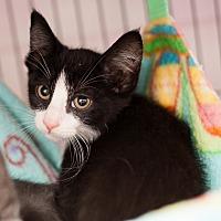 Adopt A Pet :: Wilyam - Shelton, WA