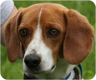 Beagle Dog for adoption in Marion, Arkansas - Beasley: FOSTER HOME NEEDED